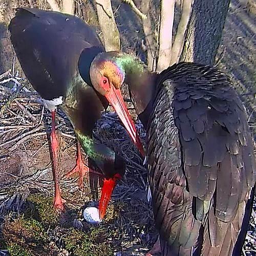 A gemenci fekete gólyapár fészkében ott az első tojás!
