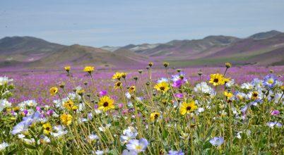 Virágok lepték el a sivatagot