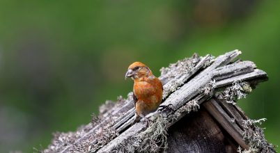 Fenyveseink téli vendége a keresztcsőrű madár