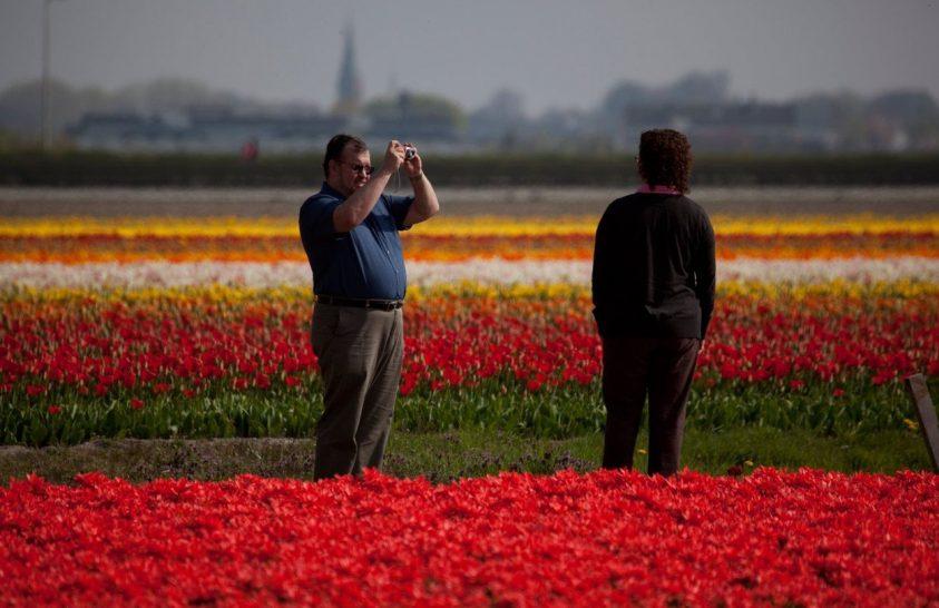 Holland farmerek kampánya a tulipánok védelméért