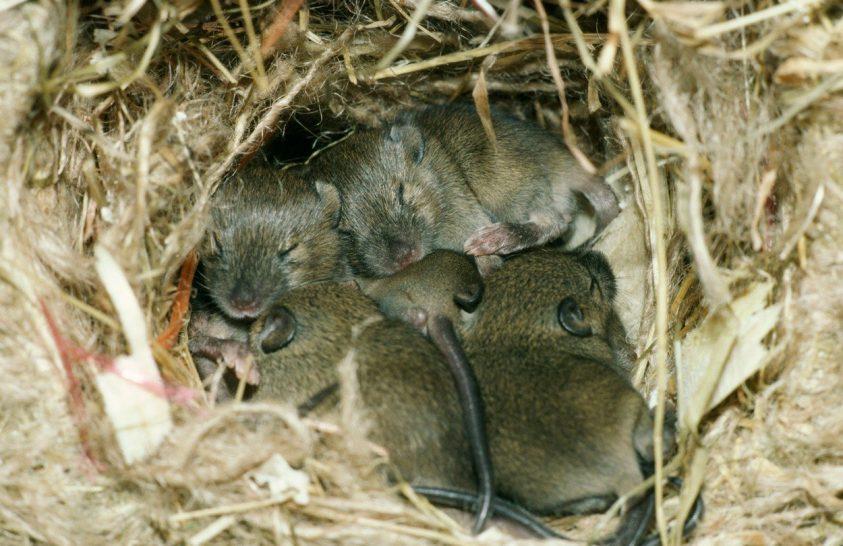 Elegendő alvás csökkenti az érelmeszesedés kockázatát egereknél