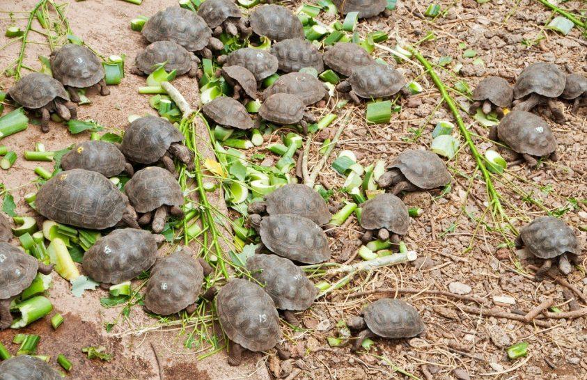 Több mint 150 fiatal óriásteknőst engedtek szabadon a Galápagos-szigeteken