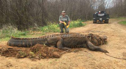 Gigantikus aligátort fogtak be