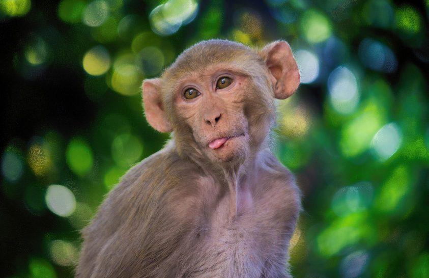 Különleges temetést kapott a négyezer éves majom
