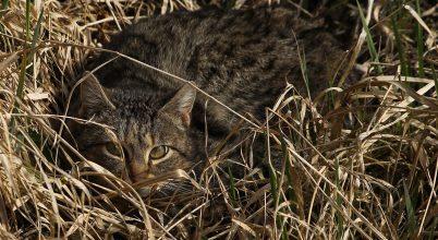 Vajon hány vadmacska élhet a Gemencben?
