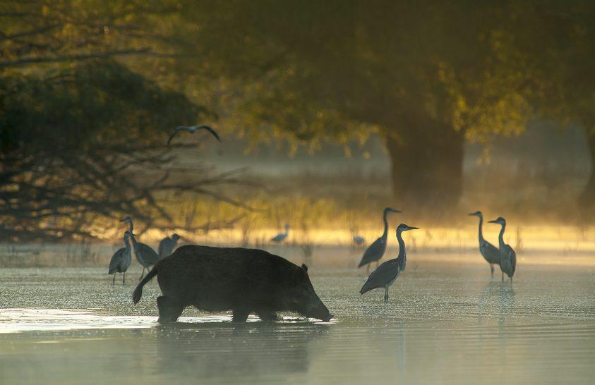 Egy természetfotós élményei a vaddisznókkal