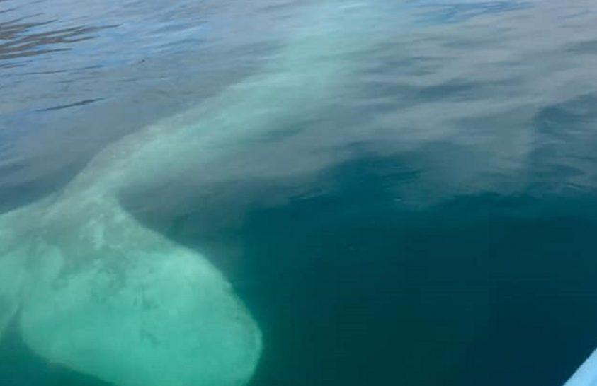 Albínó szürke bálna bukkant fel Mexikó partjainál