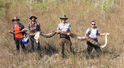 Rekordnagyságú pitont találtak Floridában