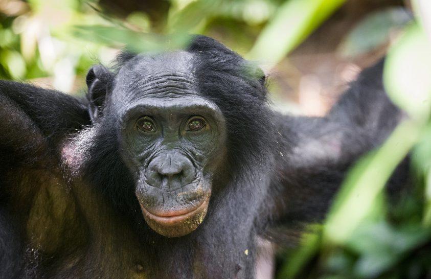 Rejtélyes majomfaj génjeit hordozzák a bonobók