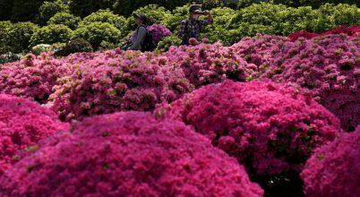 Virágzó azáleák Japánból