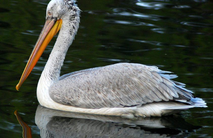 Szibériába tévedt pelikánokat engedtek szabadon a téli kényszerpihenő után