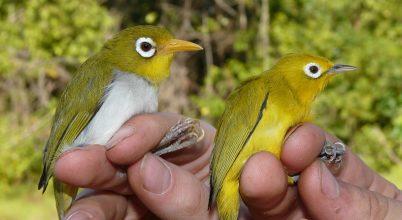 Két új madárfajt fedeztek fel Indonéziában