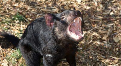 Fennmaradhat a tasman ördög