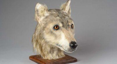 Őskori kutya fejét rekonstruálták