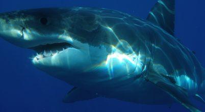 Van, amitől még a fehér cápák is rettegnek