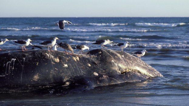 Egyre több szürke bálna sodródik partra Kaliforniánál