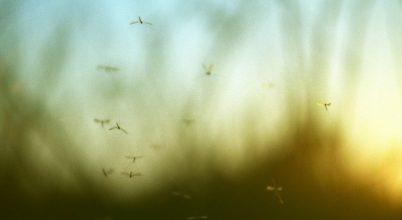Új területeken jelenhetnek meg a betegségterjesztő szúnyogok