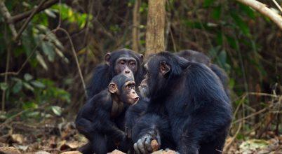 A súlyosan veszélyeztetett csimpánzok nagy része a védett területeken kívül él