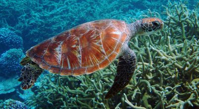 Van remény a veszélyeztetett teknősök számára!