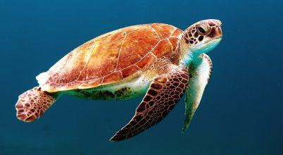 Épülő reptérre rakta le tojásait a tengeri teknős