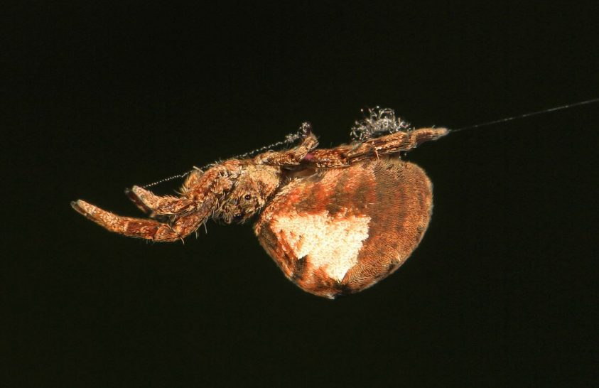 A hálójával katapultáló pókot vizsgáltak