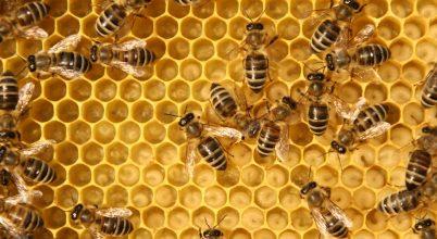 Szándékosan pusztították a méheket egy texasi farmon