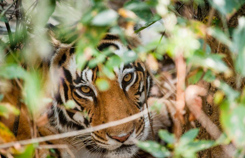 Kiderült, miért is olyan sikeres vadászok a tigrisek