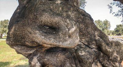 A halhatatlan olajfák ligete