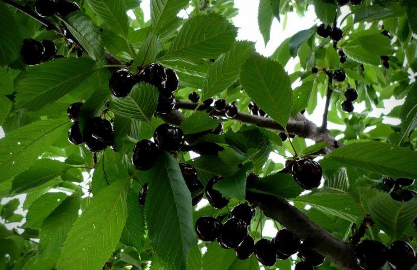 Mi lett a Kárpát-medence több ezer hagyományos gyümölcsfajtájával?