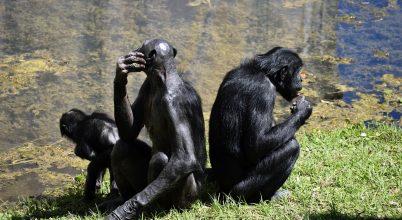 A bonobó anyák segítik a fiaik sikeres párzását