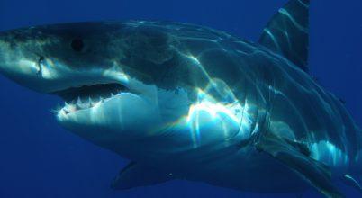 Eltévedt fehér cápára bukkantak