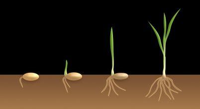 Növényi hormon segítheti a jövő mezőgazdaságát
