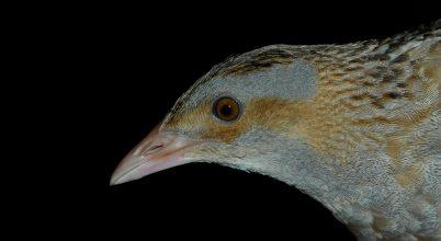 Rétek titokzatos madara