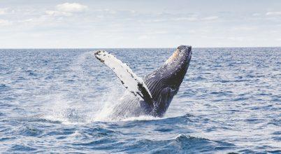 A hosszúszárnyú bálnák ellentmondanak az elvárásoknak