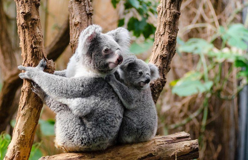 Funkcionálisan már kipusztultak a koalák