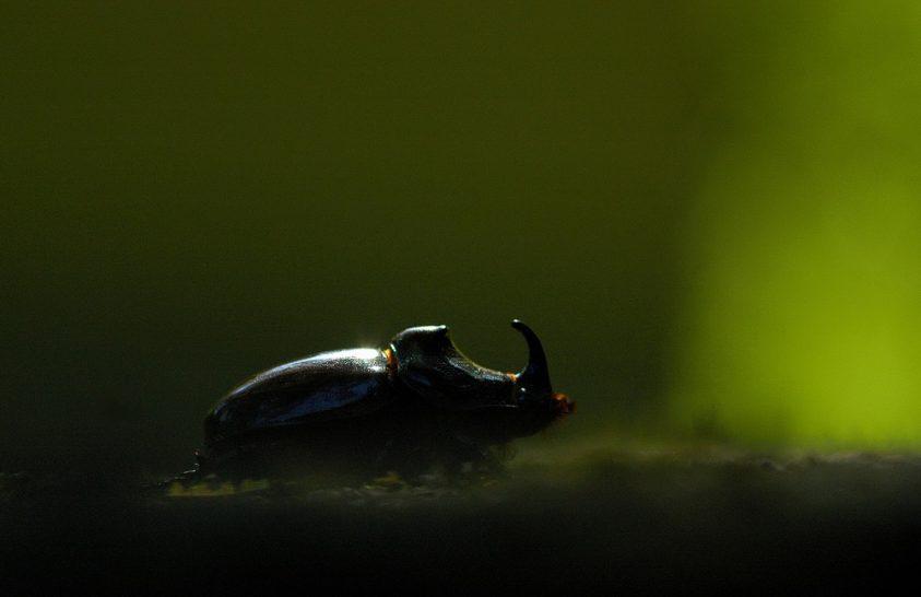 Egy különleges erdei korhadéklakó bogár
