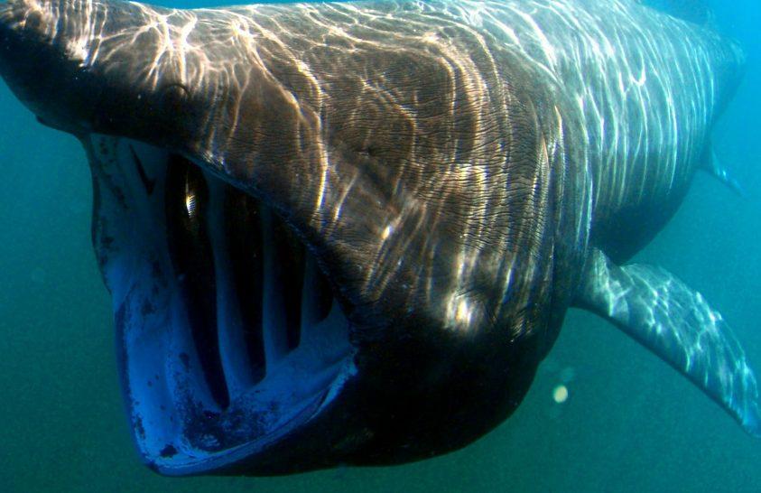 30 év után tértek vissza az óriáscápák Kalifornia vizeibe