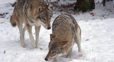 Elszökött kutyák fenyegetik az európai farkasokat