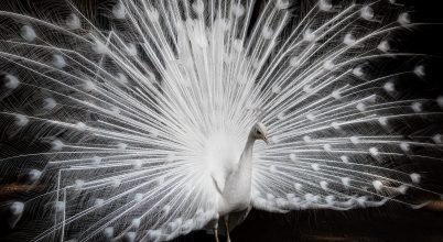 A nap képe: Fehér páva