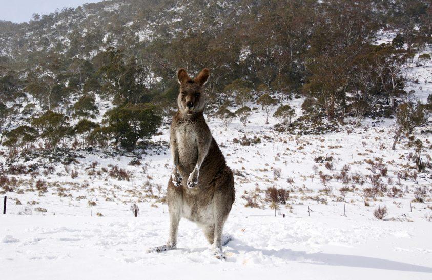 Hó borította be Ausztrália napsütötte államait