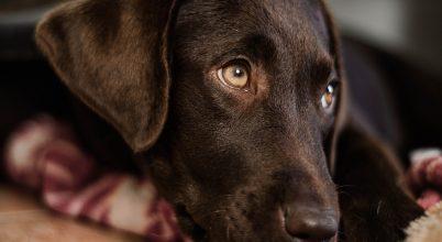 """A kutyák speciális izmot fejlesztettek a """"kiskutya-tekintethez"""""""