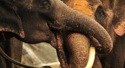 Az elefánt szaglással számol