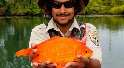 Ezért ne engedjük a szennyvízcsatornába a megunt halat!