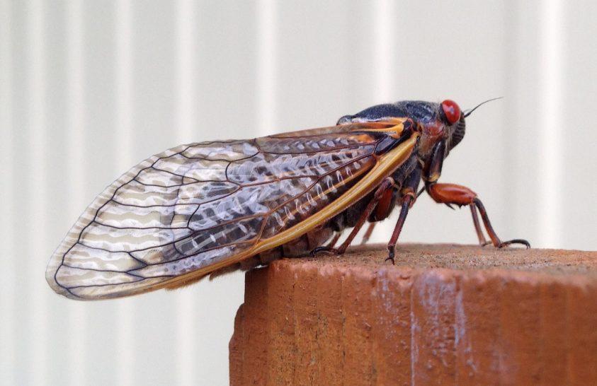 Félelmetes betegség tizedeli az amerikai kabócákat