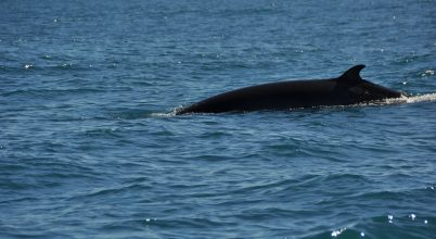 Hamarosan bálnamészárlás kezdődik