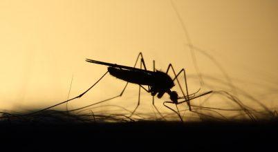 Mit esznek rajtunk a szúnyogok?