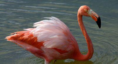 Elpusztult a legidősebb gyűrűzött karibi flamingó
