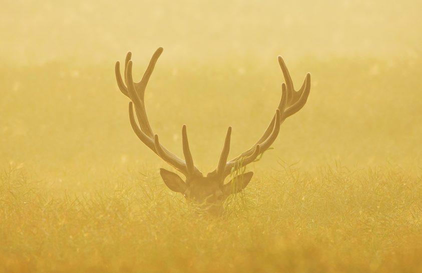 A nap képe: Aranyban tündöklő agancsos