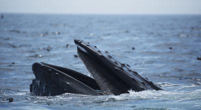 Egy hosszúszárnyú bálna szájában találta magát a fóka