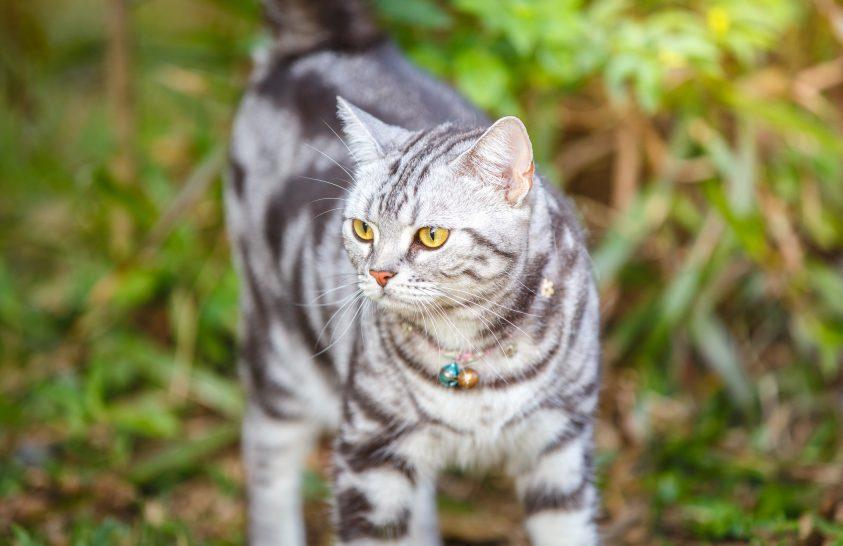 Ausztráliában macskák pusztítják a vadon élő állatokat